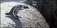pinguino-salto