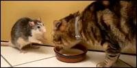 gato-rata